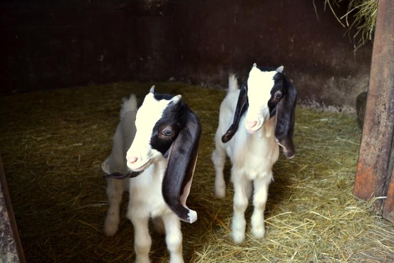 Anglo Nubier Ziegen Babys II